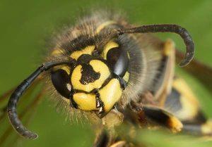 Bestrijden van wespen door Amersfoortse Ongediertebestrijding
