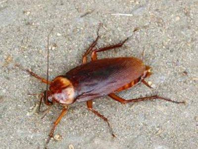 Bestrijding Van Kakkerlakken Door Amersfoortse Ongediertebestrijding