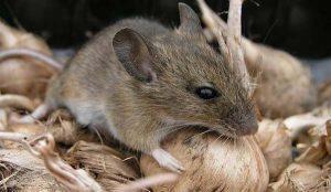 bestrijden van muizen door Amersfoortse Ongediertebestrijding