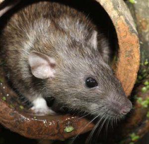 bestrijden van ratten door Amersfoortse Ongediertebestrijding