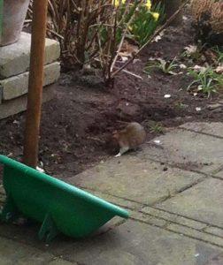 Amersfoortse ongediertebestrijding bestrijding van ratten