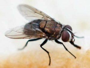 bestrijden van vliegen door Amersfoortse Ongediertebestrijding
