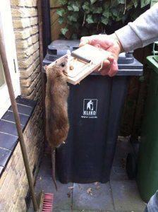 Door Amersfoortse Ongediertebestrijding gevangen rat in klem