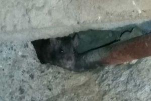 Bestrijden van bruine ratten
